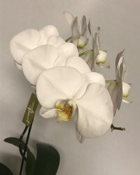Phalenopsis Orchid Plant - Click to enlarge picture.