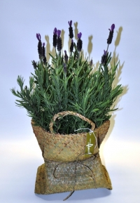 Lavender Potted Plant - Click to enlarge picture.