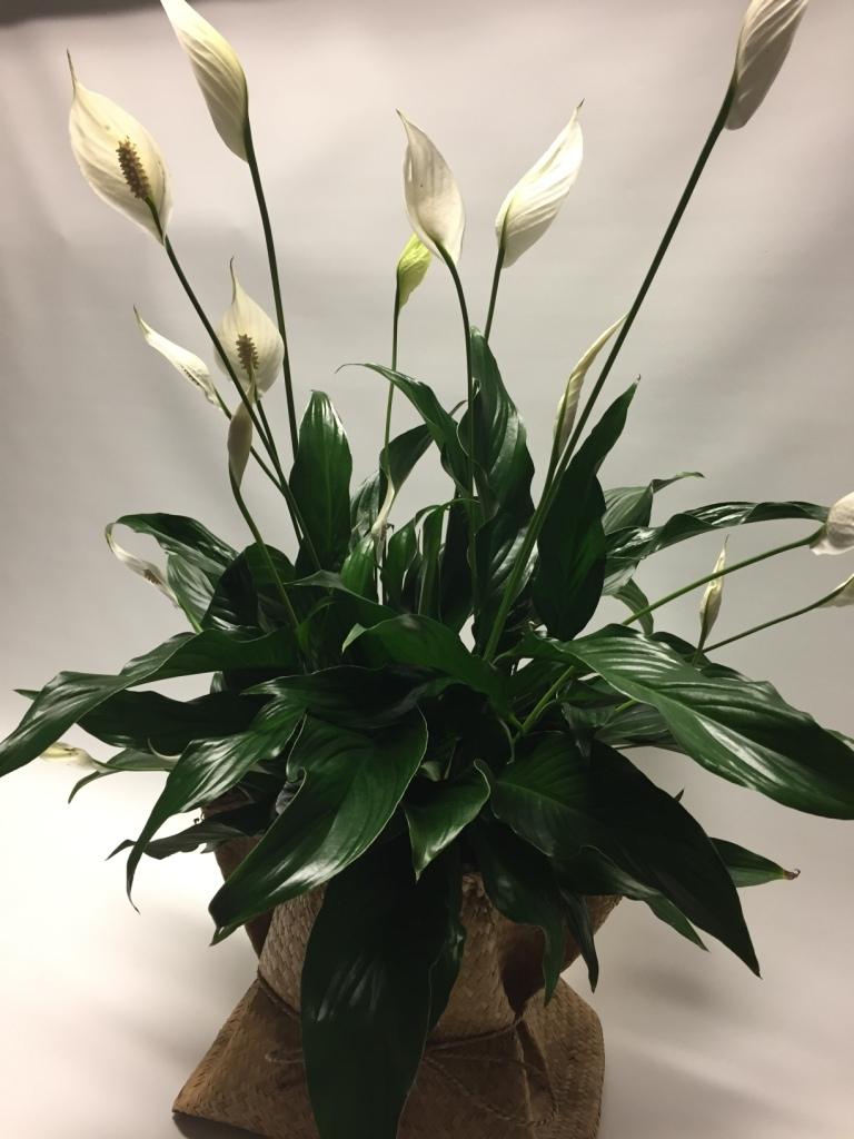 Peace lily izmirmasajfo